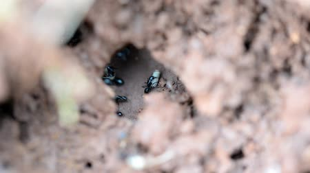 termite : View in to the ant colony or hill of busy ants carrying stuff building their home. Stock Footage
