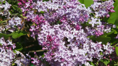 ogród : Lilac branch swaying in the wind