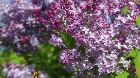 сады : Lilac branch swaying in the wind