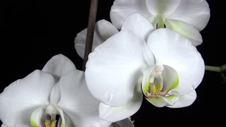 orquídeas : The branch of white orchid on black background Stock Footage