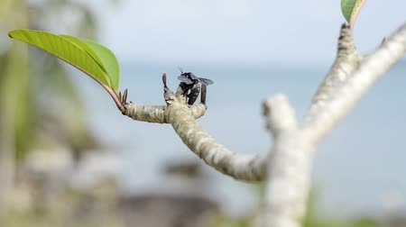 xylocopa violacea : Tropical big black carpenter bees approach to Plumeria branch
