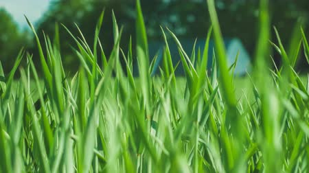 çevre : Greengrass. Blurred Background With house. closeup. Nature. Environment concept. 4K 3840 x 2160 ultra high definition footage Stok Video