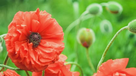 escarlate : Big decorative red poppy flowers and some green buds in background moving in windy spring day, close up, 4K 3840 x 2160 ultra high definition footage, warm color