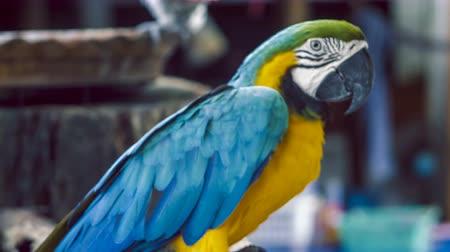 evcil hayvanlar : Macaw parrot. Blue yellow macaw parrot. Blue golden macaw parrot. Ara ararauna. Neotropical parrots macaws. Blue macaw parrot bird. Blue macaw ara animal. Blue macaw parrot colorful. Stok Video