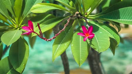 almeria : Vivid red petals and stems of blossom plumeria swinging on the wind, blue ocean on background Stock Footage