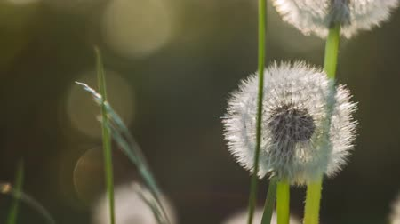 dmuchawiec : Seed head of dandelion in nature slightly moved by the wind, sunlight flares flickering in background, nice round bokeh, close up