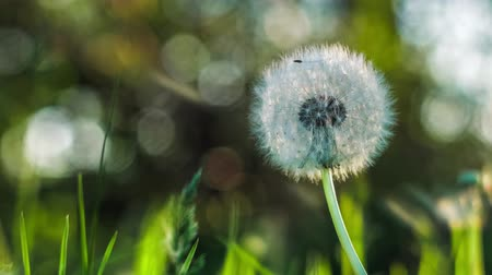 ouvido : Dandelion heard slightly moved by the wind breeze, seeds falling down, sunlight flares and round bokeh flickering in background, close up, vintage
