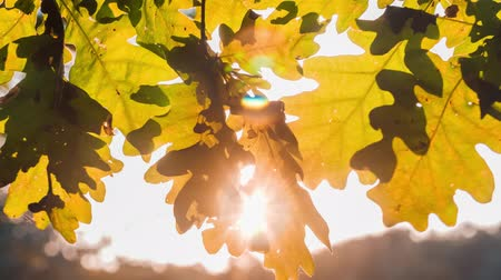 dub : Sun light playing through Oak tree leaves. Backlit rays shining through the foliage. Autumn beginning