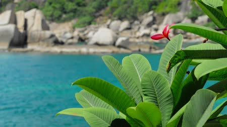 almeria : Red frangipani plumeria flower wiggle by the ocean breeze. Rippled turquoise blue ocean surface in background.