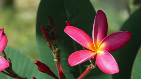 szag : Beautiful bright lightened lilac plumeria flower with some deep green foliage in background