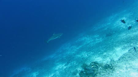 school of shark : Blacktip reef shark hunting on bottom coral reef