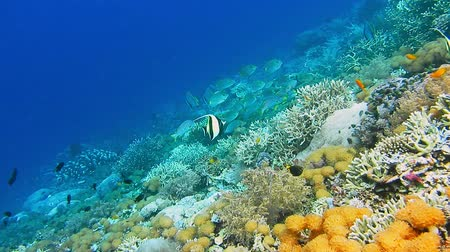 mouro : Intact coral wall with high density of reef fish. Moorish Idol