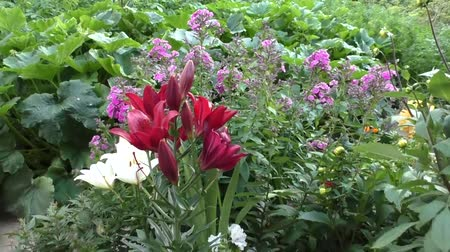 bordo : Bright beautiful lilies grow in the garden