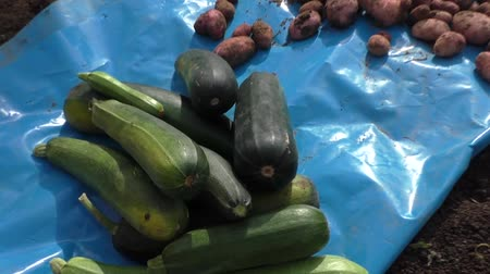 vegetable marrows : Vegetable marrows and potato, harvesting
