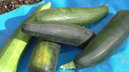 vegetable marrows : Vegetable marrows lay on the ground, harvesting