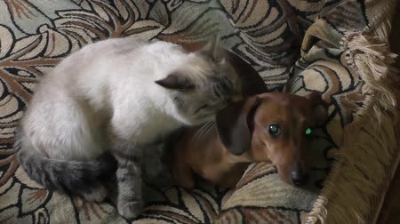 grey cat : The Thai cat licks a dog the rate