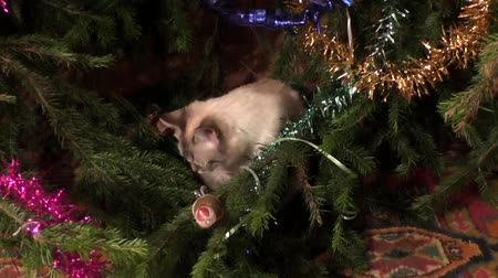 hides : The Thai cat sits under a christmas tree and washes Stock Footage