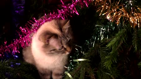 hides : The Thai cat sits under a christmas tree