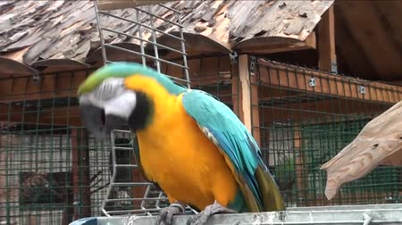 ara papagáj : Great colorful parrot sits in the yard and swinging Stock mozgókép