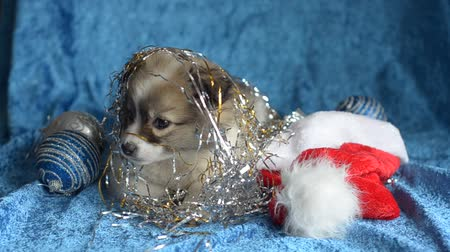 nézett : Little puppy lying on a blue background with Christmas ornaments is tired and wants to sleep. Selective focus.