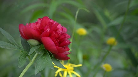 terry : Blooming red peony in the garden Stock Footage