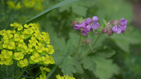 герань : Forest geranium blooms in summer in the wild