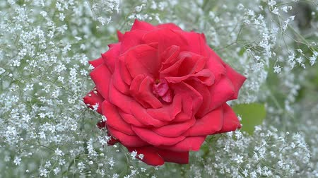 gypsophila : Red rose on a background of babys breath