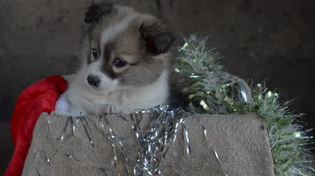sivilceli : The little puppy sits in a box with Christmas decorations Stok Video