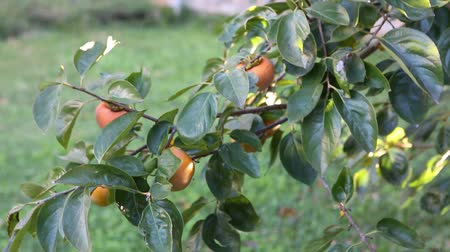 venkovský : Beautiful sweet, organically grown Persimmons on tree