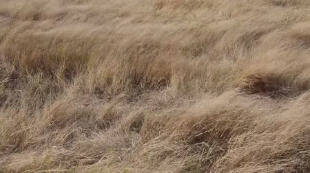 Autumn pasture: Yellow withered grass with blowing wind.