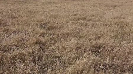 nasiona : Autumn pasture: Yellow withered grass with blowing wind, close up view. Wideo