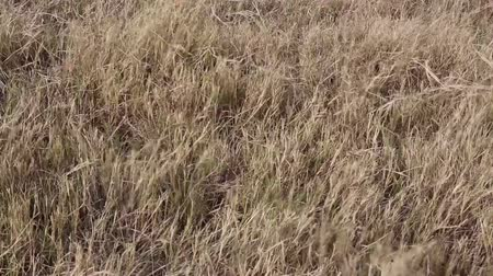 Autumn pasture: Yellow withered grass with blowing wind, close up view. Stok Video
