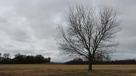 Leafless lonely tree blowing in a strong wind under an overcast sky. Nature or agricultural background.