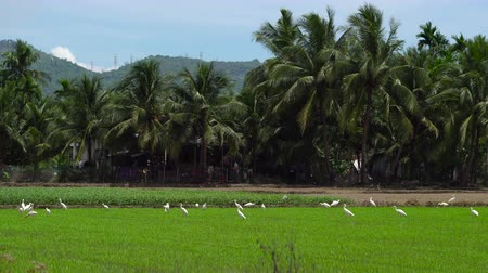 small heron : Panning shot of a flock of white herons on a rice field. Stock Footage