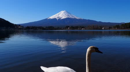 japonya : Swan and Mount Fuji from Ubuyagasaki in Kawaguchi Japan 03122020 4k.mov