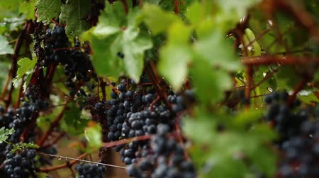 winnica : rain, agriculture, bunch, dark grapes Wideo