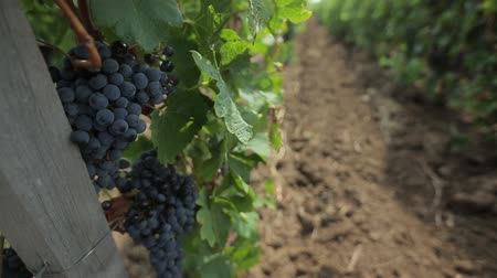 hacienda : Black grapes