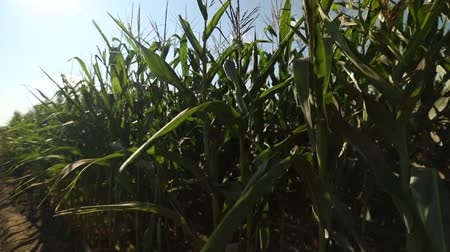 pára choque : young corn growing on the field Stock Footage