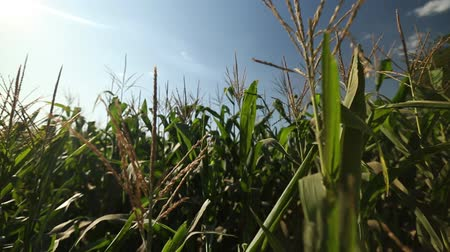 pára choque : corn field in the frame only the tops of the corn Stock Footage