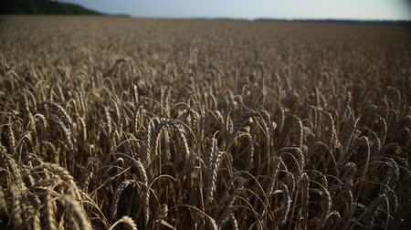 otruby : wheat field