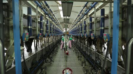 milking robot system on a dairy farm Wideo