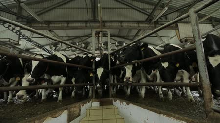 a herd of cows standing in the barn near the fence