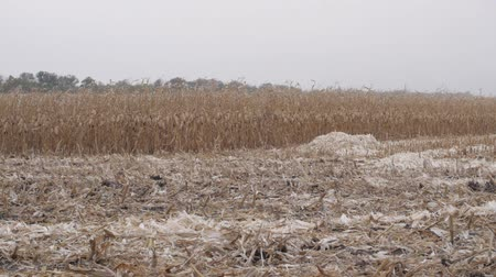 a harvested corn field