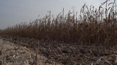 kombajn : cut the stalks of dried corn