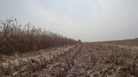 kombajn : sloping field of corn Wideo