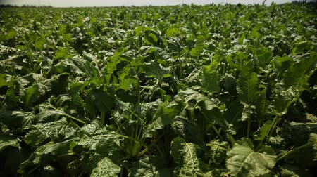 burak : beet grows in the field