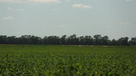 soy : green soybean field