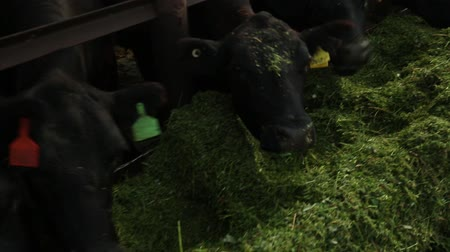 плотина : cows eat alfalfa