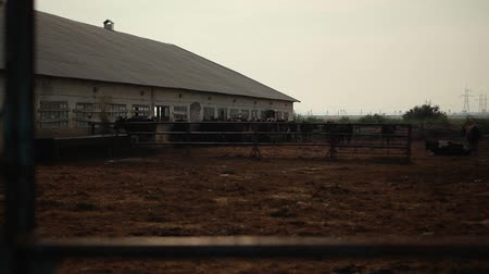 фехтование : cows stand in an open paddock on a dairy farm Стоковые видеозаписи