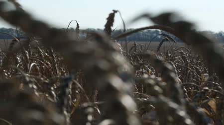 milharal : ear of wheat 13 Stock Footage
